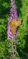 28_Schmetterling
