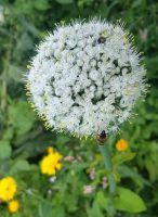 32_Blume_Bienen